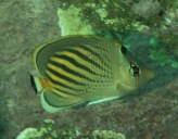 Dot-dash Butterflyfish
