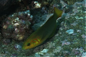 Yellow Moon Wrasse