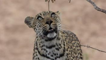 luipaard kijkt omhoog