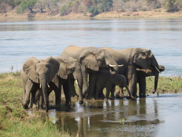 groep olifanten in de rivier