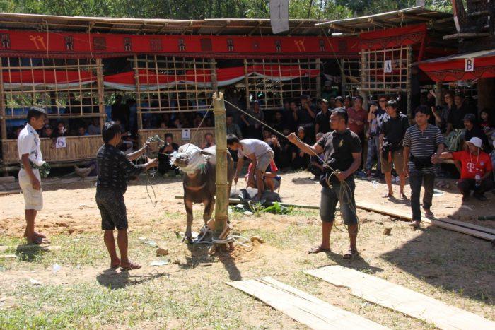 Slachten van de waterbuffel op Toraja begrafenis