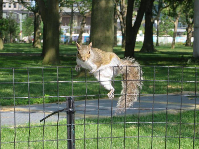 Eekhoorn in Battery Park