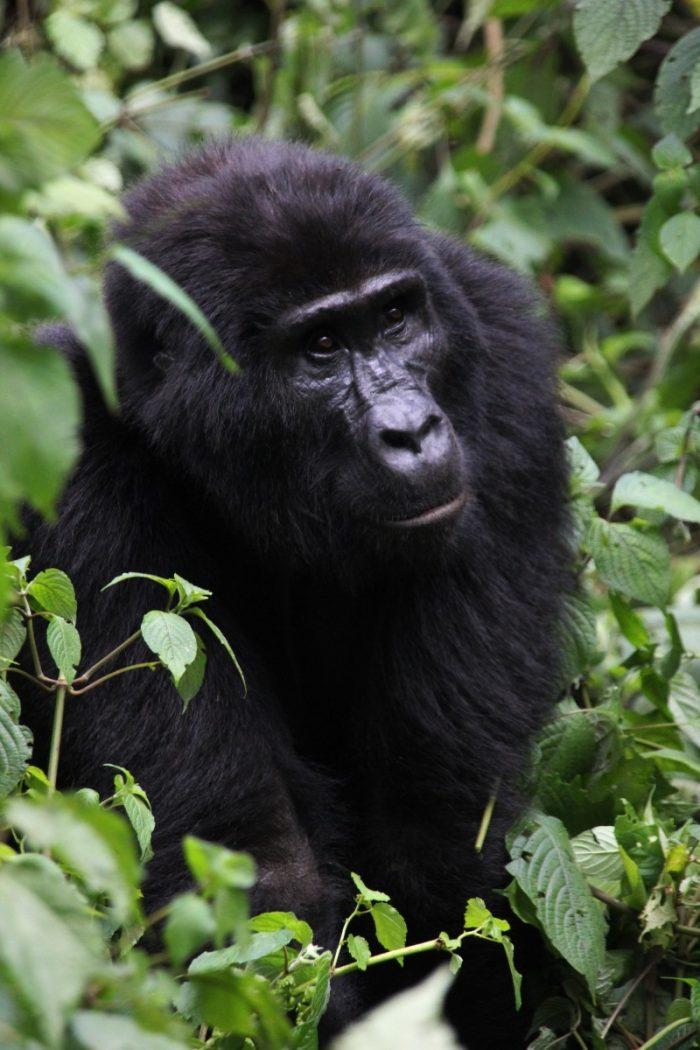 staande gorilla