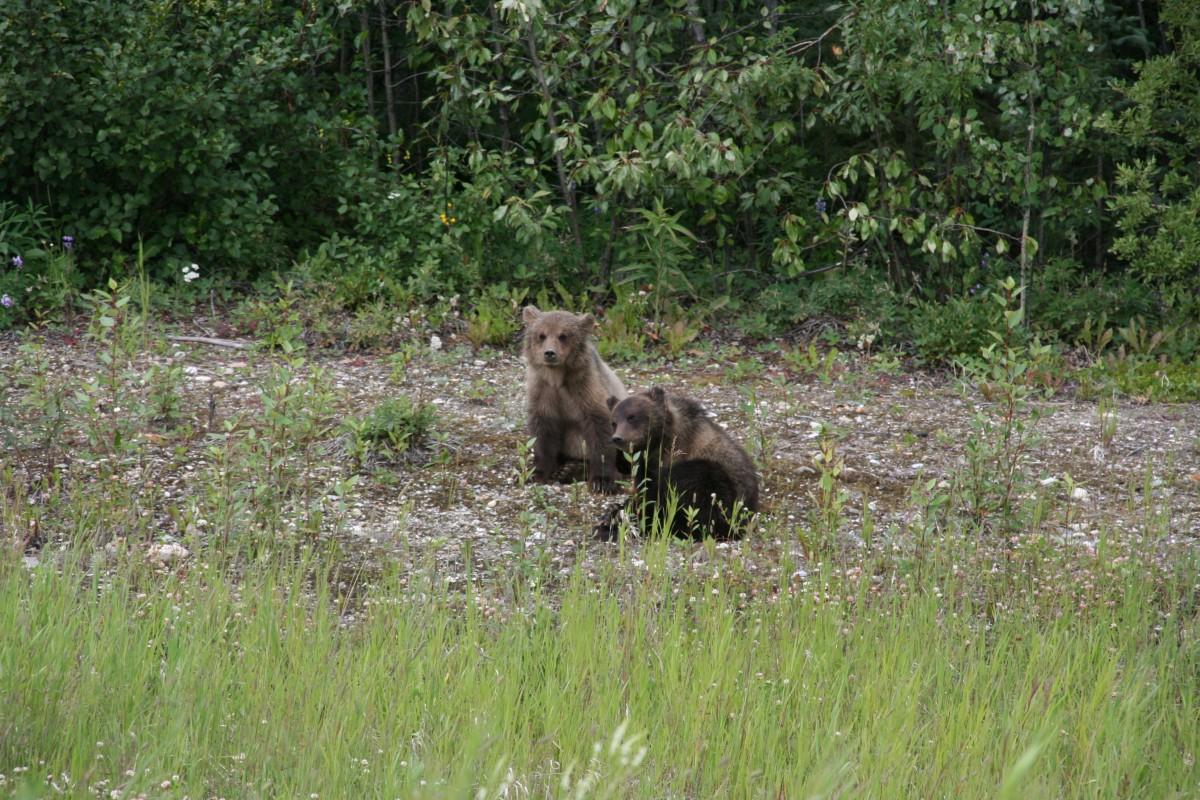 twee jonge grizzly's