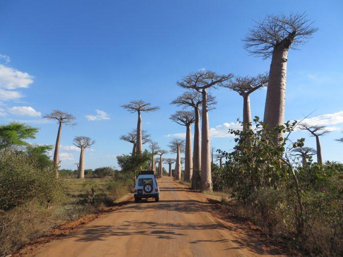 veel baobabs langs de route
