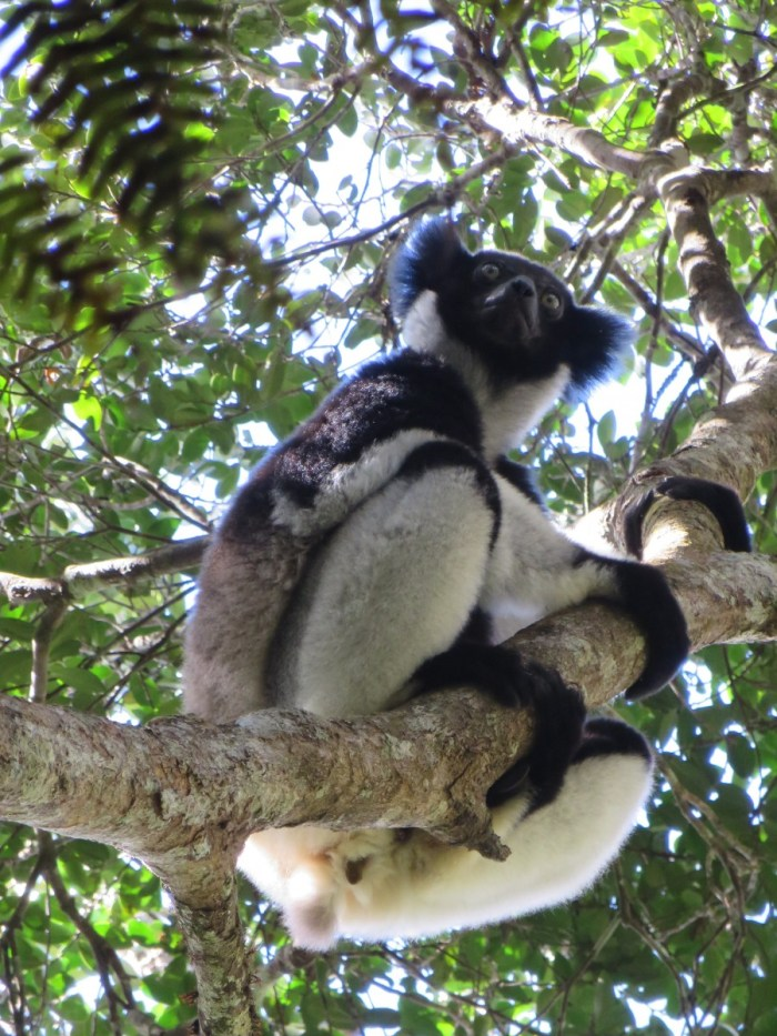 Indri in boom