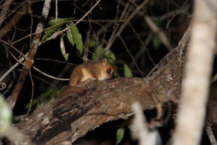mini lemur