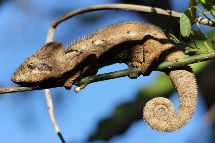 kameleon bij Coen