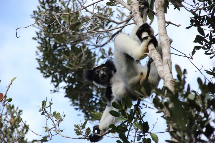 Indri in Mantadia National Park