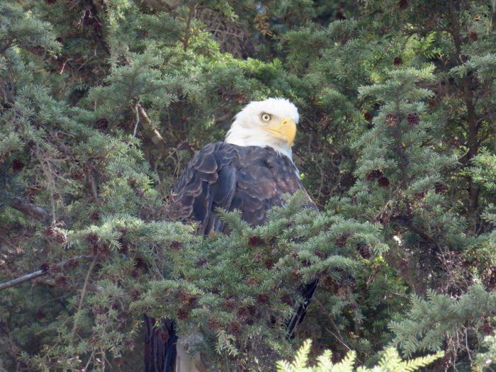 Bald eagle, Hyder
