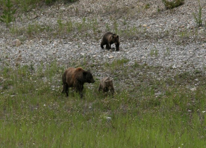 Grizzly met twee kleintjes