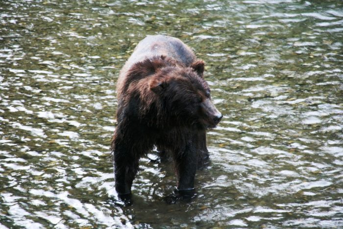 grizzly bij Fish Creek