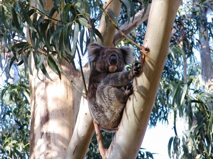 Koala in boom, Australië