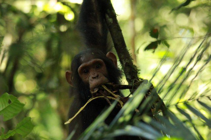chimpansee Oeganda