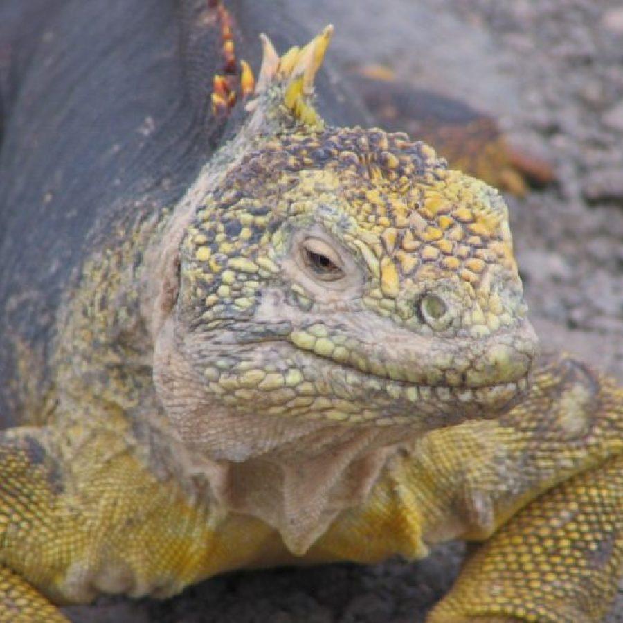 landleguaan Galapagos Eilanden