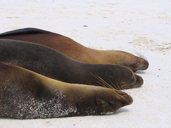 zeeleeuwen Galapagos Eilanden