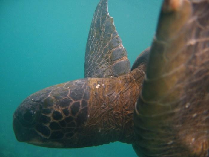 snorkelen met zeeschildpadden