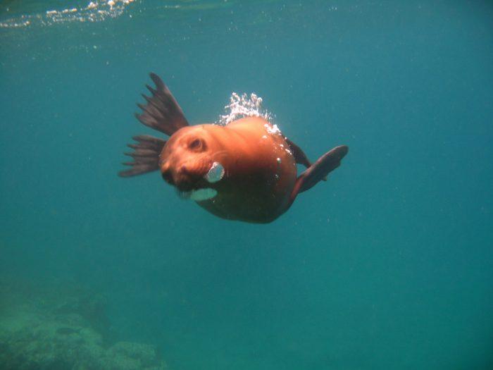duiken en snorkelen met zeeleeuwen Galapagos eilanden