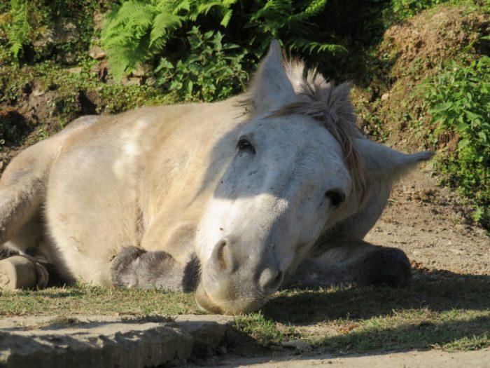 paard in Ghandruk