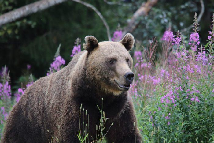 Beren spotten Finland