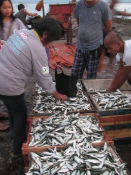Fresh haul. Enumerators from Municipal Agricultural Office (MAO) get samples directly from the fishermen