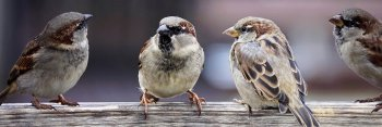 Group of sparrows facing each other.