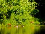 Geese and baby deer at treasure lake