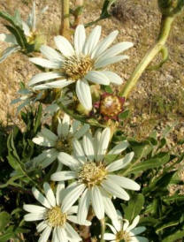 White rosinweed