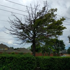 Red oak located under power lines on a poor soil type