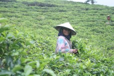 ibu pemetik daun teh