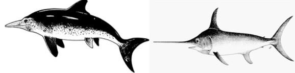 Figura 2. A: Retroceso anatómico de un reptil ictiosaurio, originalmente terrestre, a una forma acuática con forma de pez (reconstrucción de Ichthyosaurus tomada de http://www.ucmp.berkeley.edu/diapsids/ichthyosauria.html). B: Pez espada (Xiphias gladius; tomado de http://www.fishbase.org/).
