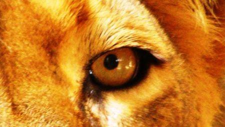 Lion_Panthera_leo_eye_close-up2