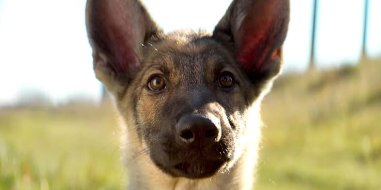a-dogs-purpose-german-shepherd