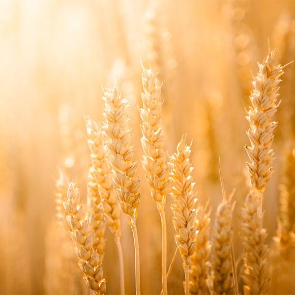 sembrado de trigo ecologico