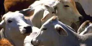 Hambre y sed: la muerte inútil del ganado en Cuba