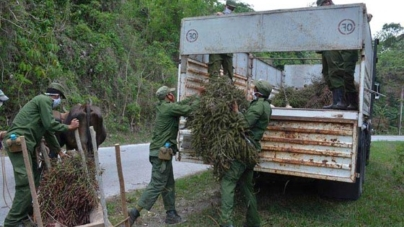 ¡Palmiche para alimentar cerdos en Cuba!