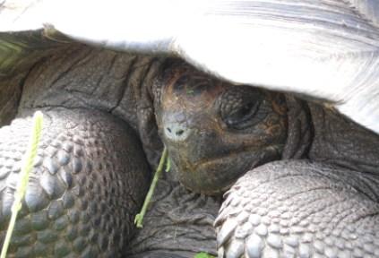 galapagosgs_by-elizabeth-angell-tortoise-3-2014-2015