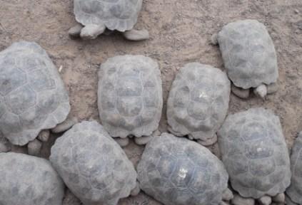 galapagosgs_by-elizabeth-angell-tortoises-5-2014-2015