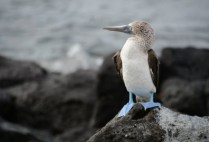 galapagosgs_by-ewelina-pena-blue-footed-booby-2014-2015