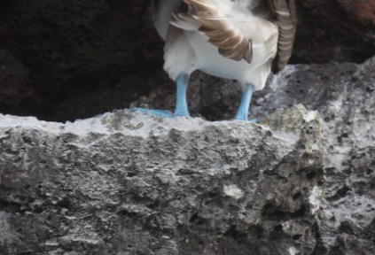 galapagosgs_by-kara-gordon-blue-footed-booby-2011