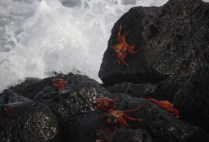 galapagosgs_by-kara-gordon-crabs-on-rock-2011-3