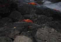 galapagosgs_by-kara-gordon-crabs-on-rock-2011