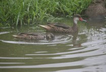 galapagosgs_by-kara-gordon-ducks-2011