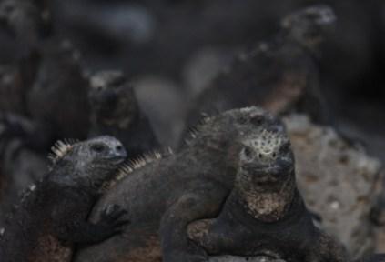 galapagosgs_by-kara-gordon-iguanas-2011