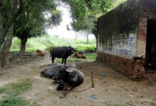 india-aligarh-by-sarah-kate-hartt-water-buffalo-outside-of-community-health-center-20111
