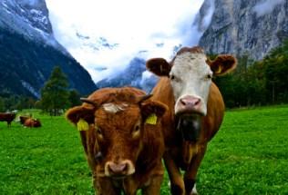 switzerland-lauterbrunen-by-parker-curry-two-cows-2013