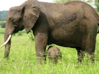 tanzaniags_by-alicia-davis-elephand-mom-and-baby-2011