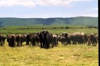 tanzaniags_by-laura-deluca-buffalo-2011-ngorongoro