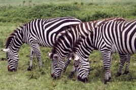 tanzaniags_by-laura-deluca-zebra-2011