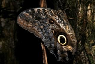 brazilgs_by-tim-kittel-butterfly-eye-mimic-picinguaba-2013